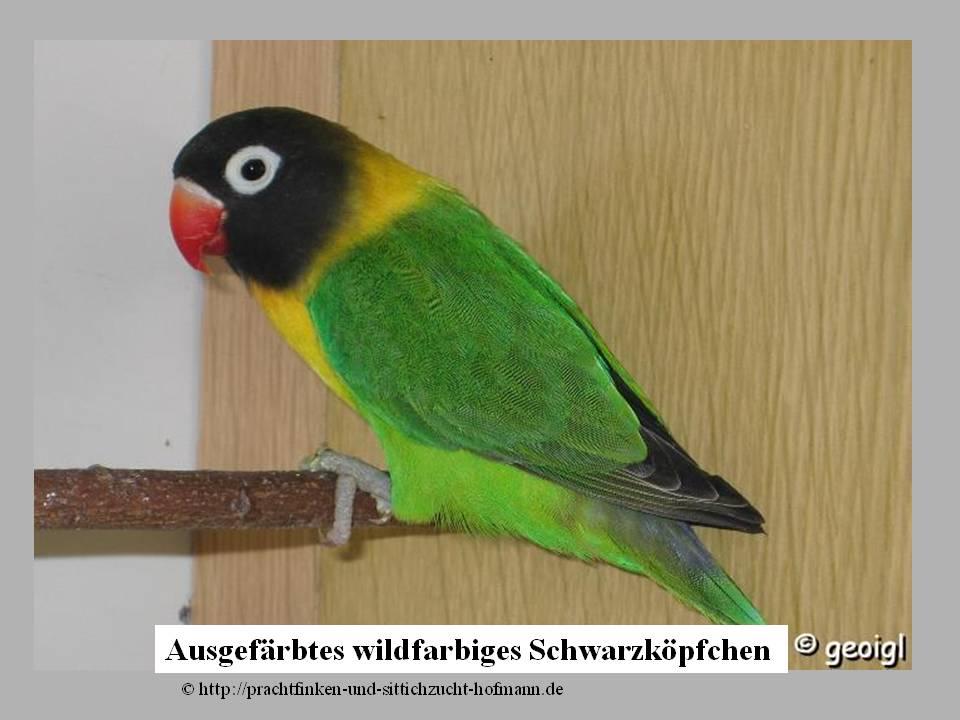 Schwarzköpfchen Agapornis Personata Liebesvögel Unzertrennliche